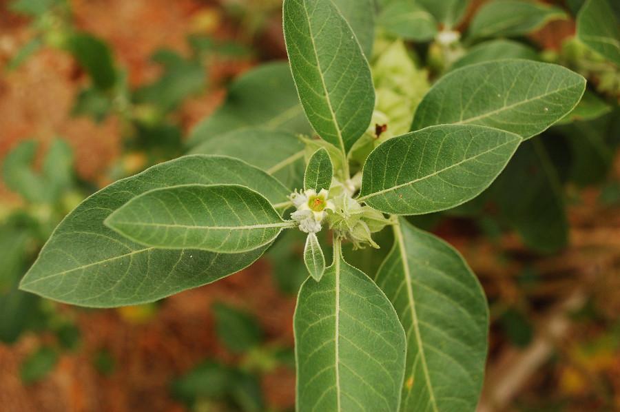 ashwagandha-flower
