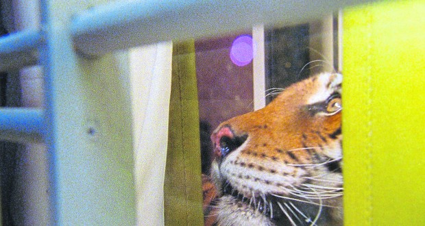 Ming, the tiger who lived in a New York apartment for years. Picture: Phillip Warnell