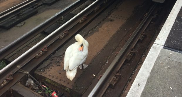 Services were held up after a swan sat on the train tracks at Kingston Station. Photo credit: Shani Kotecha
