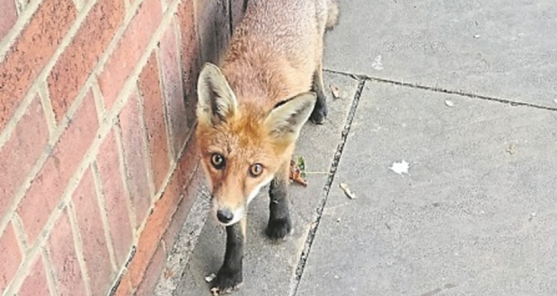 The winning photo of an urban fox was taken by an information assistant at Kingston Hill library. Photo Credit: Cheryl Reynolds
