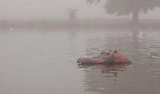 Bushy park's missing hippo mystery
