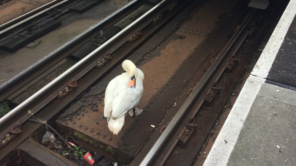 Swan on train tracks causes delay in Kingston